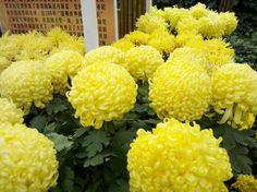 Chrysanthemum morifolium  - Direktes Licht - Wasser Täglich -  Verliert Vierzehntägig