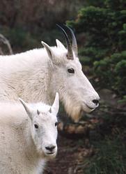 Goats of Glacier
