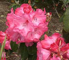 Rhododendron 'Lady of Spain' is an early to mid-season bloomer with red to white flowers.