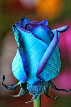 Blue Roses. breathtaking
