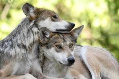 Wolf Love, Husky, Wolves, Animals, Animales, Animaux, Wolf, Animal, Animais