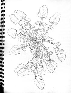 Shepherd's Purse, Capsella bursa-pastoris Pencil drawing