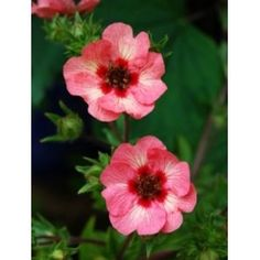 Potentilla X hopwoodiana  Pale pink and cream flowers with dark centres which flowers from July to October. Flower stems sprawl a bit so grow among other plants that can support the stems. HxW 45cm x 60cm