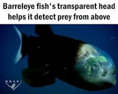 barreleye fish eyes - Google Search