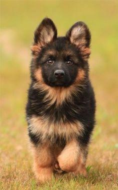 German shepherd puppy. So cute! #germanshepherd