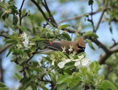 Cedar Waxwing in Apple tree