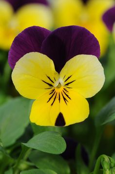 Viola 'Sorbet Yellow Duet' XP ~ 2012