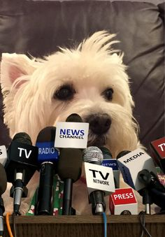 Frankie the Westie for Governor