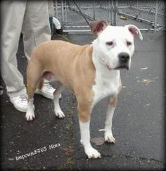 0765 is an adoptable Pit Bull Terrier Dog in Bridgeport, CT. IMPOUND 765 Meet Nina, her sister Lola and her, after many years of being together were just tossed away and left at the Bridgeport Animal ...