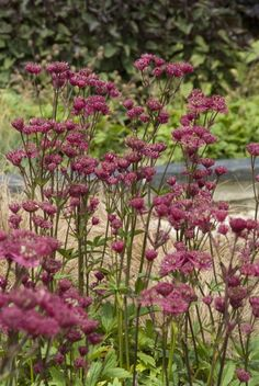 Love Flowers, Beautiful Flowers, Astrantia Major, Small Outdoor Spaces, Planting Plan, Small Space Gardening, Ornamental Plants, Flower Beds, Gardens