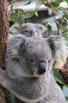 Koalas at the Taronga zoo