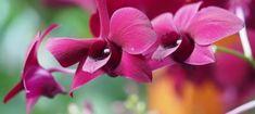 Orchids at Kew Gardens' Orchid Festival 2018 - Pumpkin Beth Botanical Art, Botanical Gardens, Water Dragon, Cymbidium Orchids, Kew Gardens, Mauve Color, Black Flowers, Garden S, Shades Of Purple