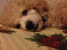 Chocolate Poodle, Toy Poodles, Poodle Mix, Teacup, Best Dogs, Wildlife, Puppies, Pets, Friends