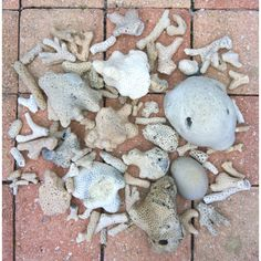 Coral found in 1 day #swfl #florida
