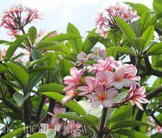 Kauai beauty, pink!