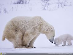 Polar bear mother with her cub | PostKitty