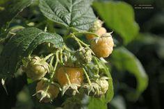 Rubus idaeus –'gele' herfstframboos, houd van zure grond en een plekje in de zon. Bloeit en vruchtvorming op 1 jarig hout, dus in voorjaar alles afknippen.