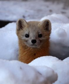 The sable (Martes zibellina) is a species of marten Nature Animals, Baby Animals, Cute Animals, Pine Marten, Travelogue, Us Images, Otters, Life Is Beautiful, Animal Kingdom