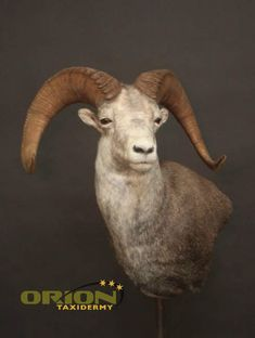 Wall pedestal Sheep, Goats, Exotic, Pedestal, Animals, Wall, Taxidermy, Animales, Animaux