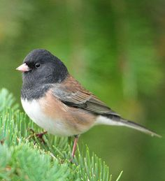 Dark-eyed Junco | brodmanns17 http://www.flickr.com/photos/brodmanns17/3994374534/