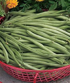 French Filet Green Beans - I been told these are the best bush beans - long, straight pods - not stringy and really yummy. Planting Vines, Planting Bulbs, Beans Vegetable, Vegetable Gardening, Growing Green Beans, French Green Beans, Bean Varieties, Bean Plant, Starting Seeds Indoors
