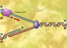 How Nucleotides are added in DNA Replication [HD Animation] (+playlist)