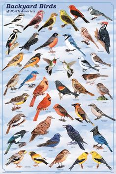 Laminated Backyard Birds Educational Science Chart Poster Laminated Poster 24 x Little Birds, Love Birds, Beautiful Birds, Small Birds, Beautiful Pictures, Funny Bird, Bird Identification, Bird Poster, Poster Poster