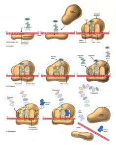 Los pasos de la traducción del ADN