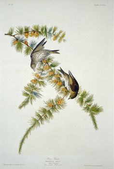 Art Print: Pine Finch Poster by John James Audubon : Audubon Birds, Poster Size Prints, Art Prints, Birds Of America, John James Audubon, Bird Drawings, Animals Of The World, Wildlife Art, American Artists