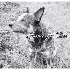 Please visit the Justice for Cisco Facebook page!!!! Cisco was shot and killed by a police officer in Austin Texas who was responding to a domestic violence call. The officer arrived and held Cisco's owner at gun point without verifying or even realizing he was at the WRONG address! Cisco ran out and began barking at the officer. Cisco's owner told the officer not to shoot his dog, that he would not bite. The officer shot Cisco in the chest as his owner was unable to defend his best friend…