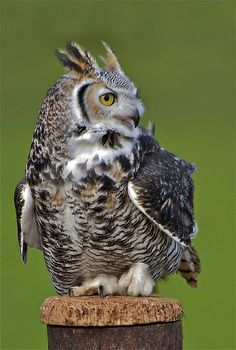 Great horned owl (not so fun when one was eating our ducklings; had to put a screen over the pen!) Magnificent bird!