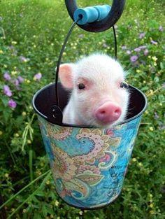"""Pigs! Love """"um"""