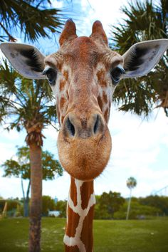 Giraffe - Zoom In - Close Up -Animals - Nature Cute Baby Animals, Animals And Pets, Funny Animals, Clever Animals, Beautiful Creatures, Animals Beautiful, Animal Noses, Mundo Animal, All Gods Creatures