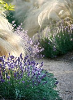 Landscaping Design Tips from Margie Grace - Traditional Home lavender & stipa Mexican Feather Grass, Drought Resistant Plants, Drought Tolerant, Drought Resistant Landscaping, Home Landscaping, Landscaping Design, Landscaping Software, Landscaping Rocks, Yard Design