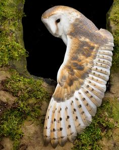 Terrific No Cost birds of prey owl Concepts Like a parrots with food shooter, a vey important difficulty a lot of whine with regards to would be the volatile dynam Owl Photos, Owl Pictures, Beautiful Owl, Animals Beautiful, Tyto Alba, Owl Wings, Owl Feather, Carnivore, Owl Bird