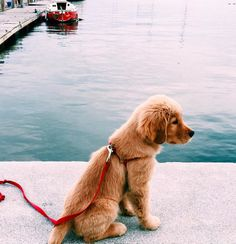 The traits we admire about the Outgoing Golden Retriever Pup Cute Puppies, Cute Dogs, Dogs And Puppies, Funny Dogs, Corgi Puppies, Baby Dogs, Pug Beagle, Pomeranian Puppy, Husky Puppy