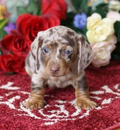 """Acquire wonderful recommendations on """"dachshunds"""". They are accessible for you on our website. Dachshund Breeders, Dachshund Funny, Dachshund Puppies For Sale, Dapple Dachshund, Purebred Dogs, Dachshund Love, Cute Dogs And Puppies, Baby Puppies, Baby Dogs"""