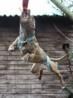 The world's most misunderstood breed — The American Pit Bull Terrier. These dogs thrive to please their owners and work. Spring poles are a great way to wear off pent up energy...