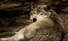 A man may have to kill his wolves and other exotic animals because he is in violation of a local ordinance which prohibits such pets. Urge authorities to give him more time to become a sanctuary in order to save these innocent animals.
