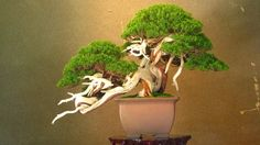Learn to grow and care for Bonsai trees and get inspired by stunning images!
