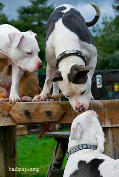 Always more love to spread around! #dogs #pets #Pitbulls facebook.com/sodoggonefunny