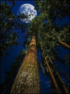 Forest moon, Sequoia sanctuary