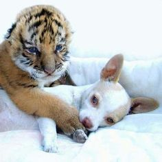 A tiger and a chihuahua - besties!