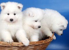 Três cãezinhos brancos e fofinhos