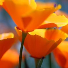 orange poppies | orange poppies