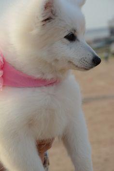 Japanese Spitz Dog Japanese Spitz Dog, Spitz Dogs, Husky, Corgi, Animals, Corgis, Animales, Animaux, Animal