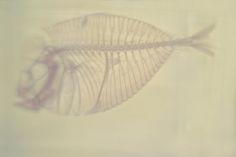 Daniel Malva - Serrasalmus nattereri (Red-bellied piranha's skeleton), 2013 Natural History Museum Giclée on Hahnemühle Photo Rag 308gsm, 20×30 cm