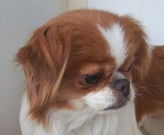Meet PUNKY  (MN), a Petfinder adoptable Japanese Chin Dog | Redwood Falls, MN | Name:  PUNKYDOB:  11/9/05Weight:  approximately 12 poundsAdoption Donation:  $125Foster Location: ...