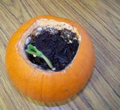 row Your Own Pumpkin:   Open up the pumpkin, add a little soil and water, and watch the seeds (which are already inside the pumpkin) grow.