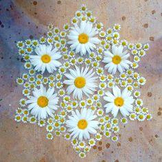 Daisy and feverfew mandala Rangoli Designs Flower, Rangoli Patterns, Rangoli Ideas, Flower Rangoli, Art Et Nature, All Nature, Nature Crafts, Land Art, Mandala Nature